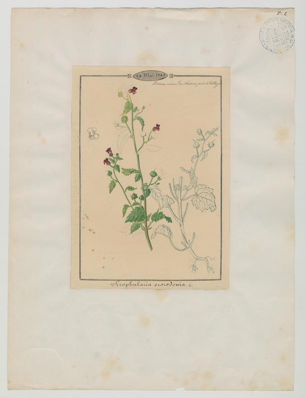 Scrofulaire à feuilles de germandrée ; plante à fleurs_0
