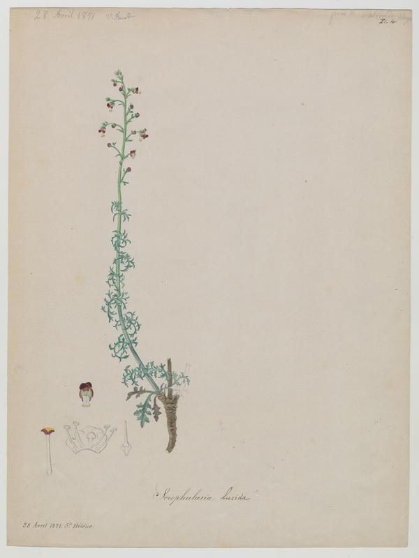 FOSSAT Vincent (aquarelliste, peintre) : Scrofulaire luisante, plante à fleurs