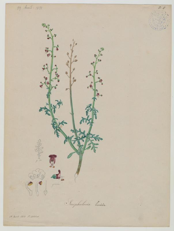 BARLA Jean-Baptiste (attribué à) : Scrofulaire luisante, plante à fleurs