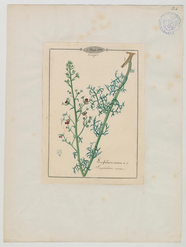 BARLA Jean-Baptiste (attribué à) : Scrophulaire canine, plante à fleurs