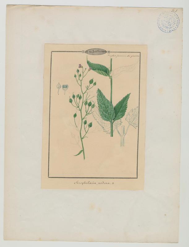 BARLA Jean-Baptiste (attribué à) : Scrofulaire noueuse, plante à fleurs