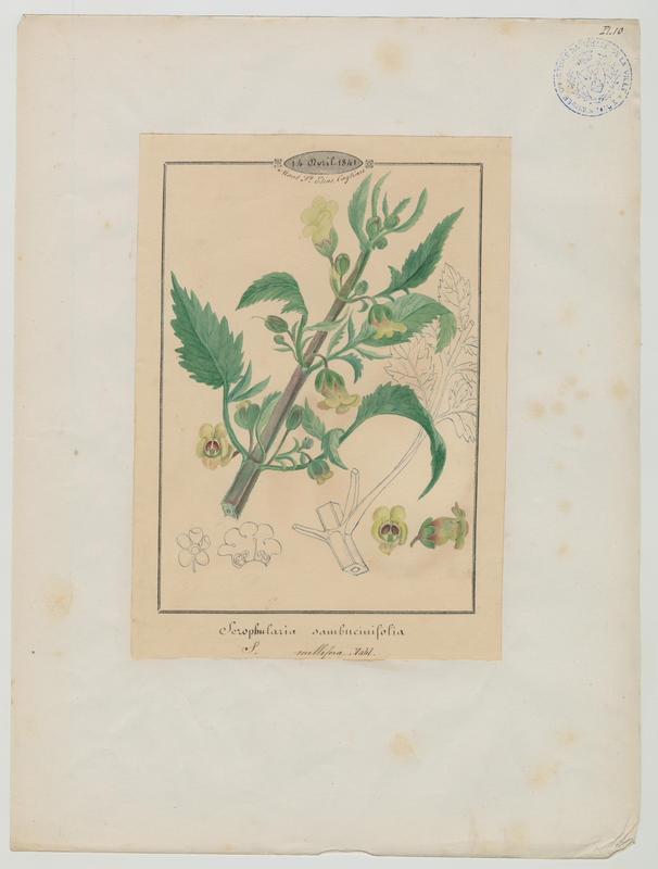 BARLA Jean-Baptiste (attribué à) : Scrofulaire à trois folioles, plante à fleurs
