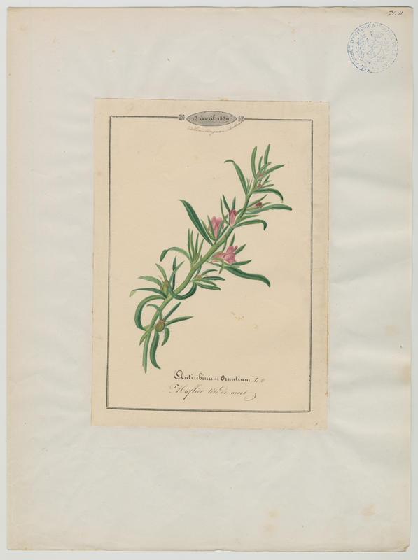 BARLA Jean-Baptiste (attribué à) : Muflier tête de mort, plante à fleurs