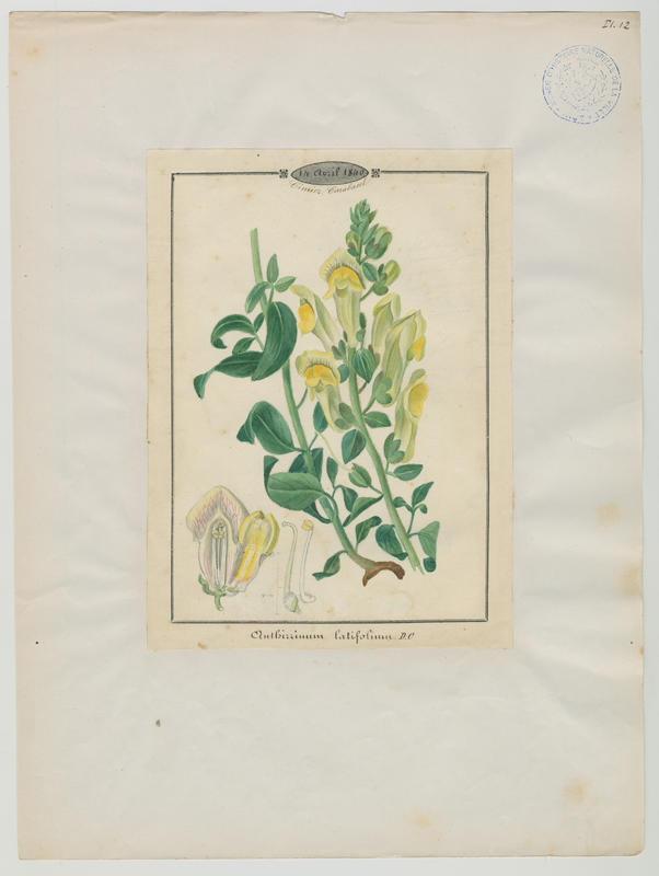 BARLA Jean-Baptiste (attribué à) : Gueule-de-loup à larges feuilles, plante à fleurs