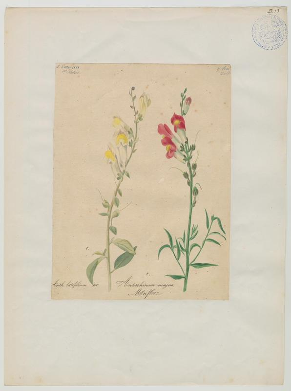 Muflier ; plante à fleurs_0