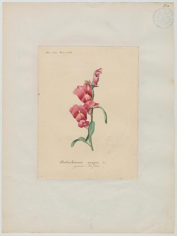 BARLA Jean-Baptiste (attribué à) : Grand muflier, plante à fleurs