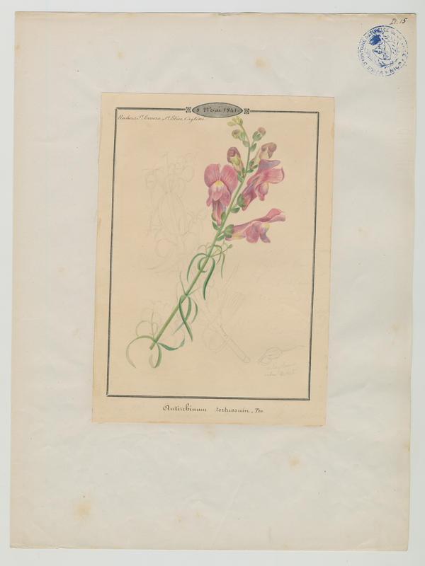 BARLA Jean-Baptiste (attribué à) : Grande gueule-de-loup sinueuse, Muflier tortueux, plante à fleurs