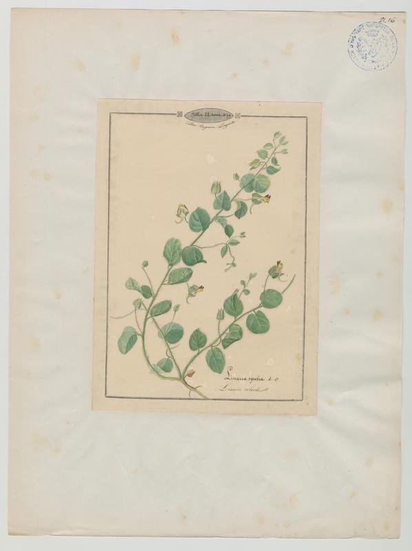 BARLA Jean-Baptiste (attribué à) : Linaire volvote, plante à fleurs