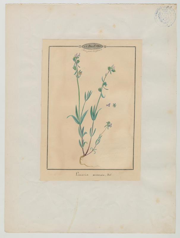 BARLA Jean-Baptiste (attribué à) : Linaire des champs, plante à fleurs