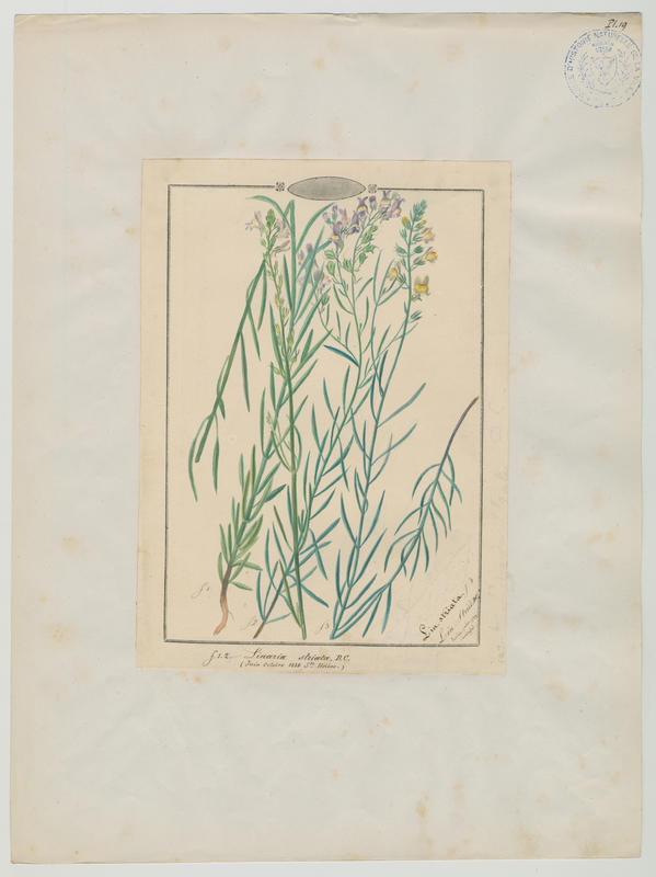 BARLA Jean-Baptiste (attribué à) : Linaire striée, plante à fleurs