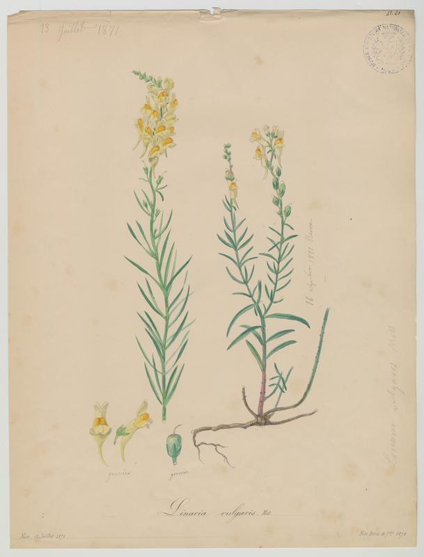 BARLA Jean-Baptiste (attribué à) : Linaire commune, plante à fleurs