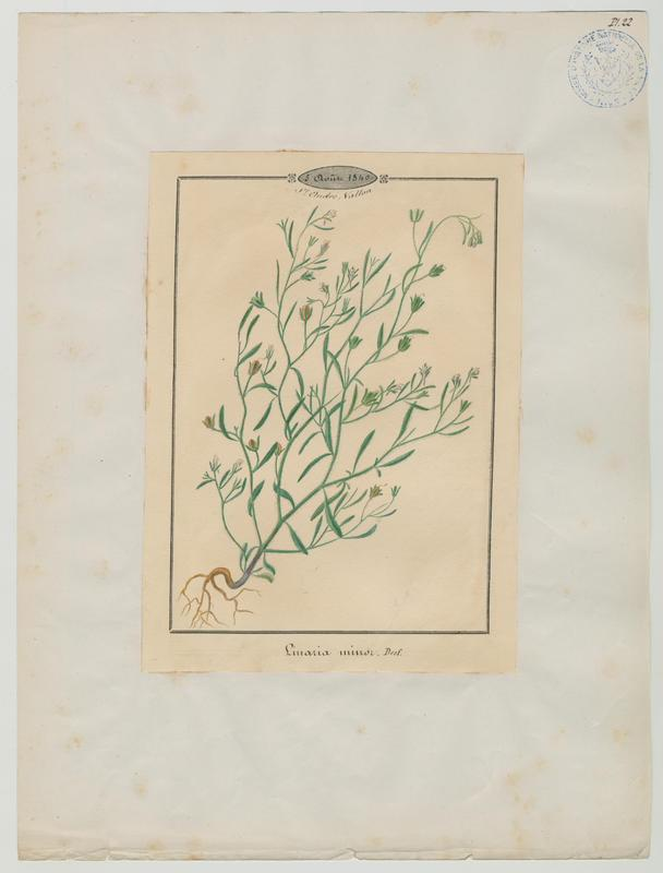BARLA Jean-Baptiste (attribué à) : Petite Linaire, plante à fleurs
