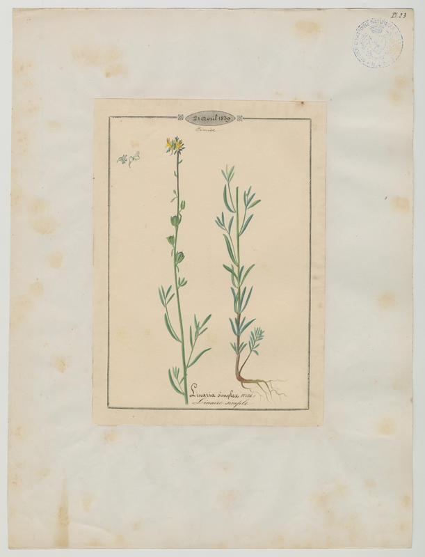 Linaire simple ; plante à fleurs_0