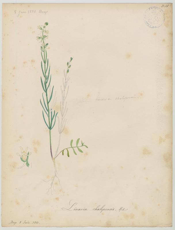 BARLA Jean-Baptiste (attribué à) : Linaire de Chalep, plante à fleurs