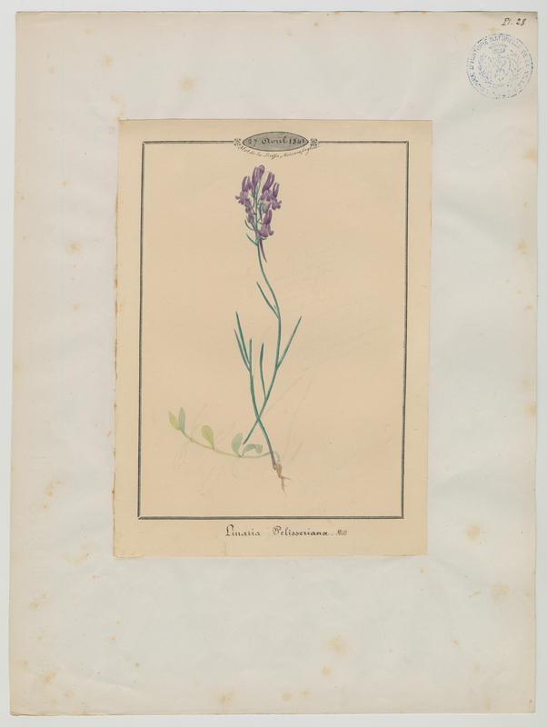 BARLA Jean-Baptiste (attribué à) : Linaire de Pélissier, plante à fleurs