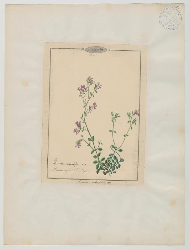 Linaire à feuilles d'origan ; plante à fleurs_0