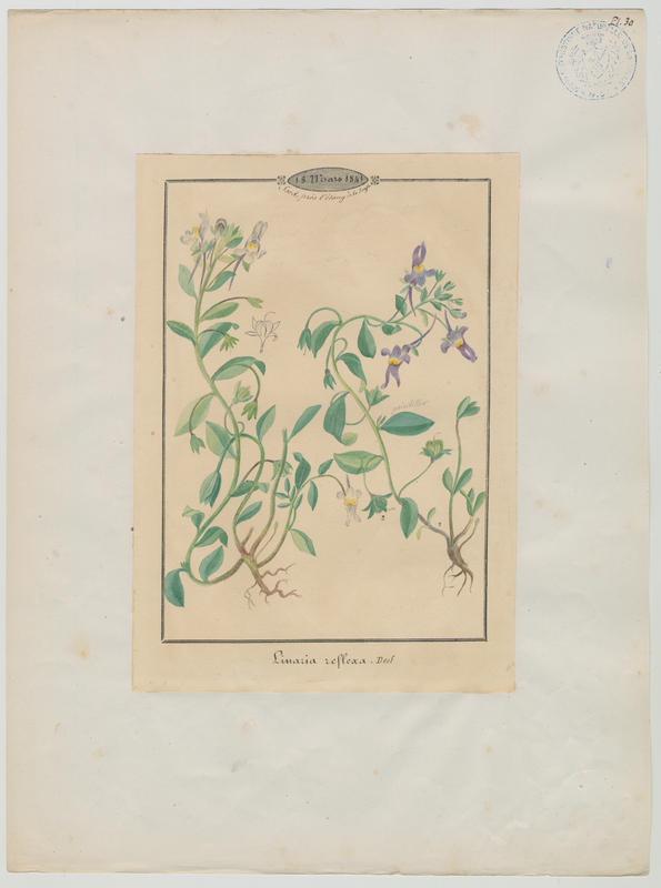 BARLA Jean-Baptiste (attribué à) : Linaire à fruits recourbés, plante à fleurs