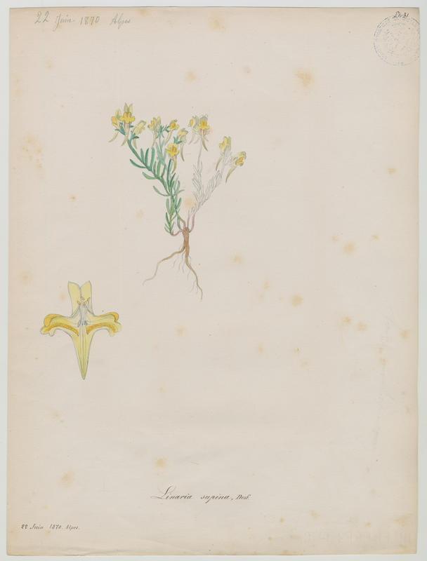 BARLA Jean-Baptiste (attribué à) : Linaire couchée, plante à fleurs