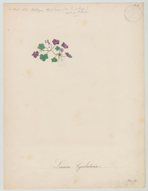 BARLA Jean-Baptiste (attribué à) : Cymbalaire des murs, Linaire cymbalaire, Ruine-de-Rome, plante à fleurs
