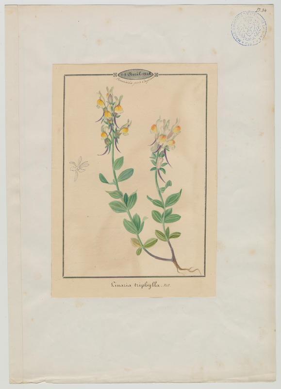 BARLA Jean-Baptiste (attribué à) : Linaire à feuilles par trois, plante à fleurs