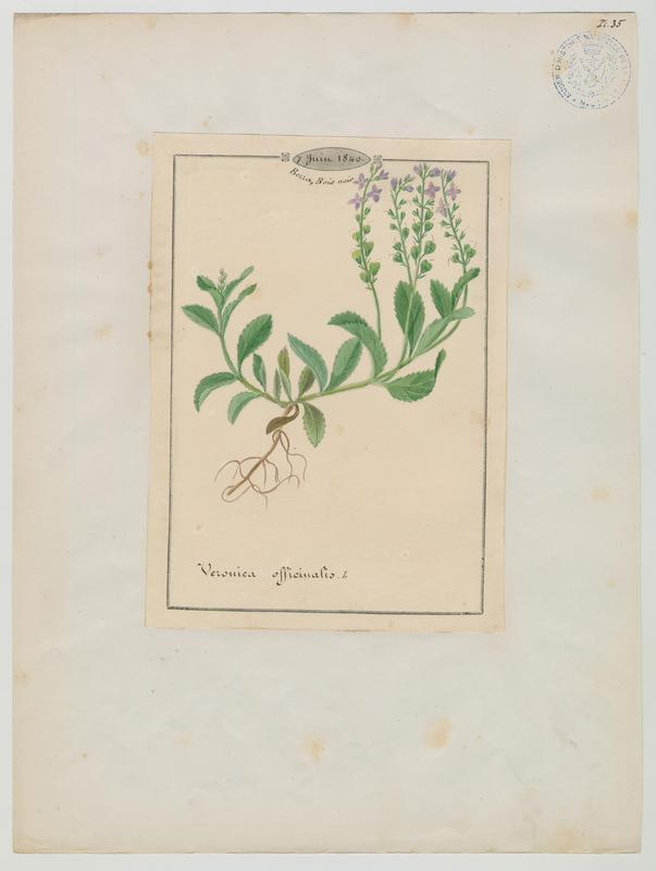 BARLA Jean-Baptiste (attribué à) : Véronique officinale, plante à fleurs