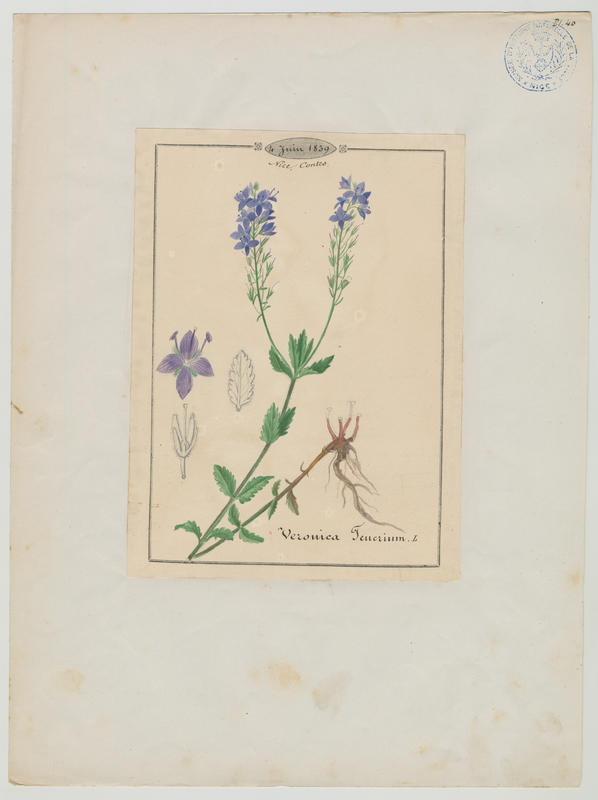 BARLA Jean-Baptiste (attribué à) : Véronique germandrée, plante à fleurs
