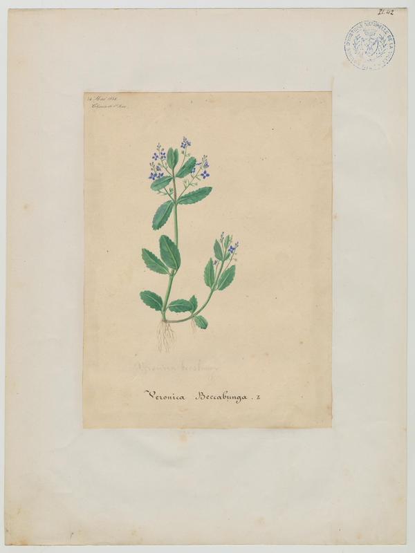 Véronique des ruisseaux ; plante à fleurs_0