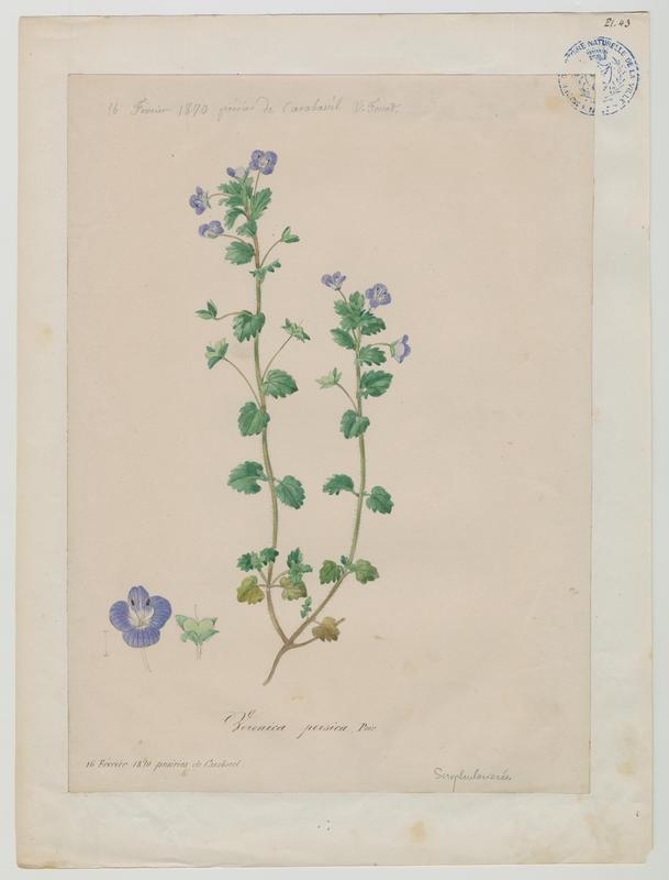 FOSSAT Vincent (aquarelliste, peintre) : Véronique commune, plante à fleurs