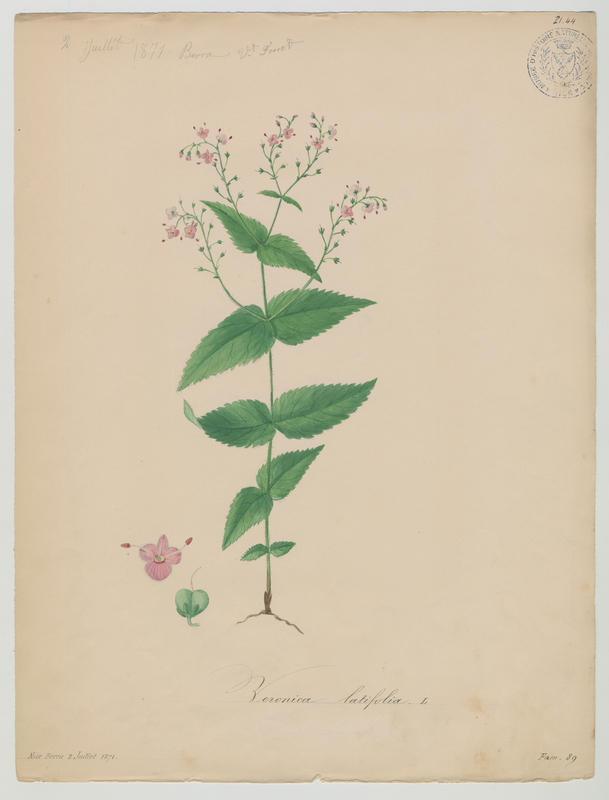 FOSSAT Vincent (aquarelliste, peintre) : Véronique d'Autriche , plante à fleurs