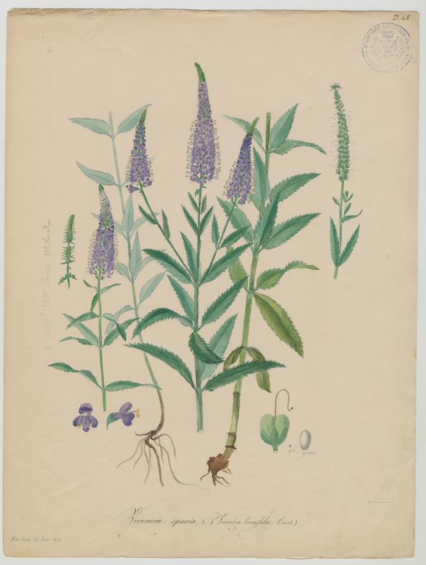 Véronique à feuilles longues ; plante à fleurs_0