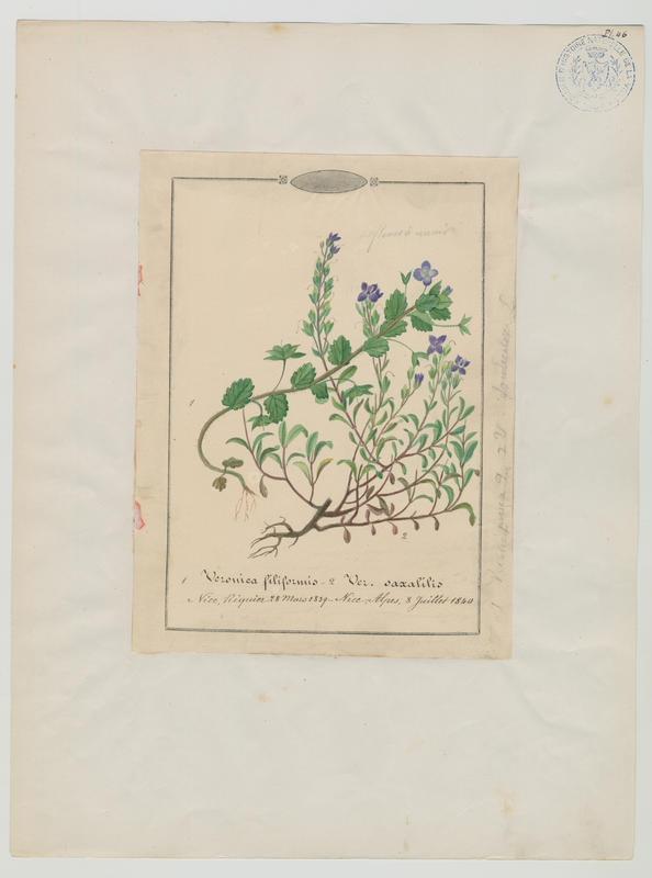 Véronique buissonnante ; plante à fleurs_0