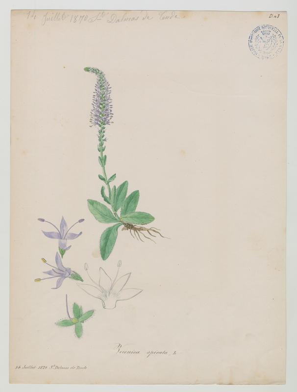 Véronique en épi ; plante à fleurs_0