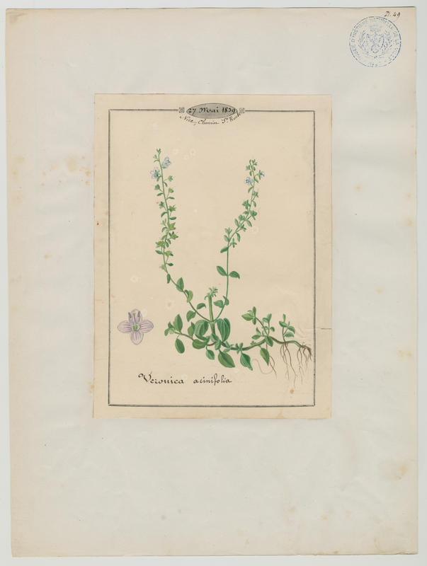Véronique à feuilles de calament ; plante à fleurs_0