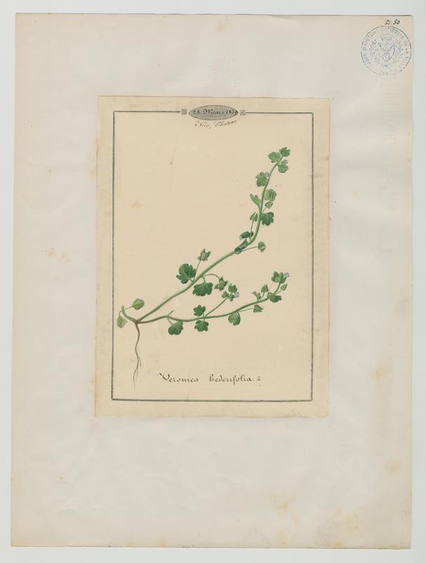 BARLA Jean-Baptiste (attribué à) : Véronique à feuilles de lierre, plante à fleurs