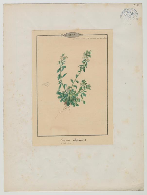 BARLA Jean-Baptiste (attribué à) : Erine des Alpes, plante à fleurs