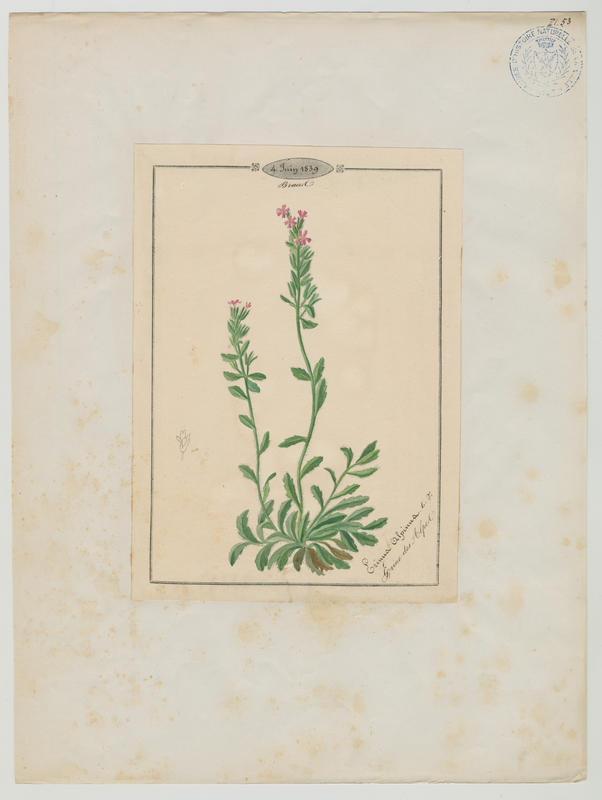 Erine des Alpes ; plante à fleurs_0