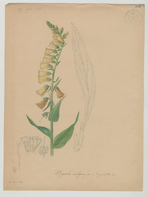 BARLA Jean-Baptiste (attribué à) : Digitale, plante à fleurs