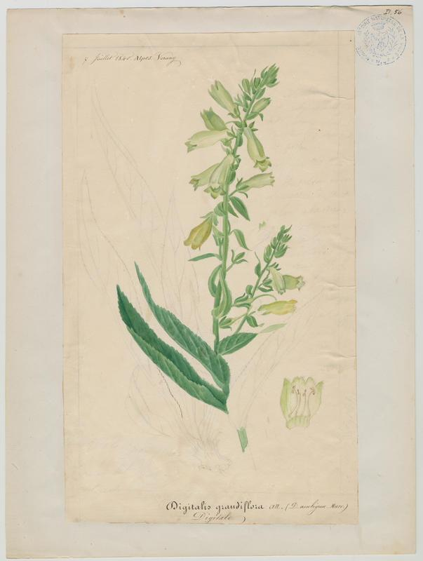 Digitale ; plante à fleurs