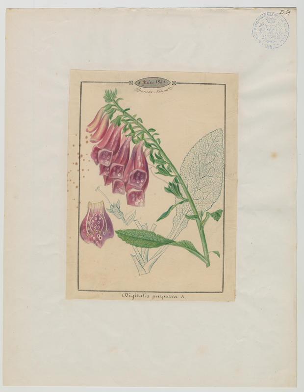 BARLA Jean-Baptiste (attribué à) : Digitale pourpre, Grande digitale, plante à fleurs