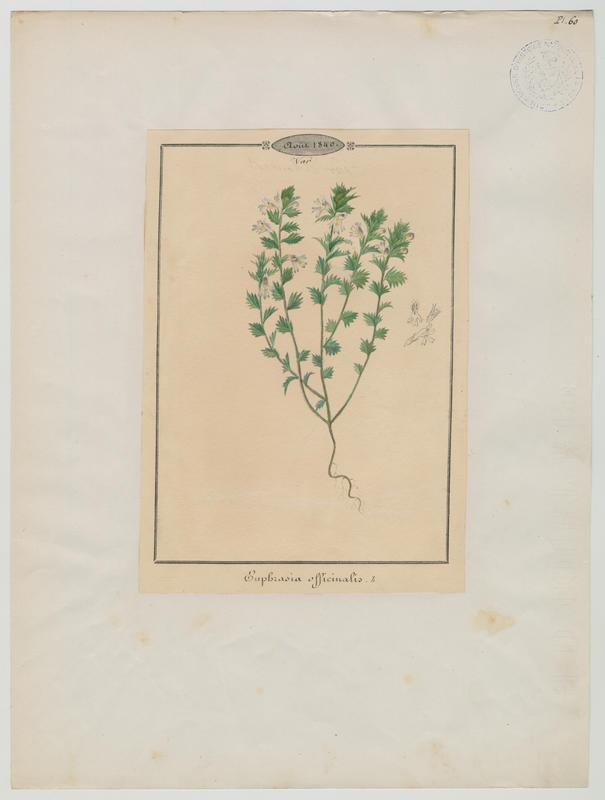 BARLA Jean-Baptiste (attribué à) : Euphraise de Rostkov, Euphraise des prés, Euphraise officinale, Casse-lunettes, plante à fleurs