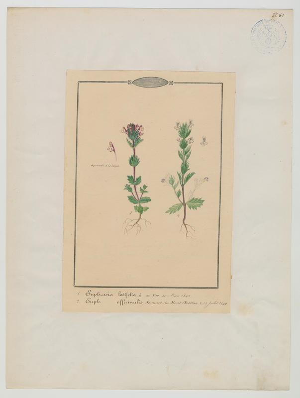 Euphraise de Rostkov ; Euphraise des prés ; Euphraise officinale ; Casse-lunettes ; plante à fleurs_0