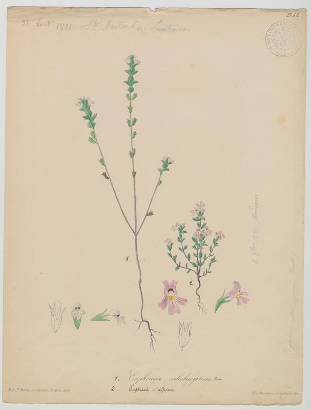 BARLA Jean-Baptiste (attribué à) : Euphraise des Alpes, plante à fleurs
