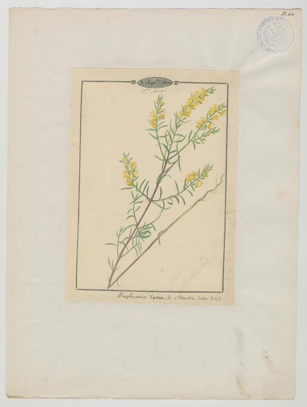 Euphraise jaune ; plante à fleurs_0