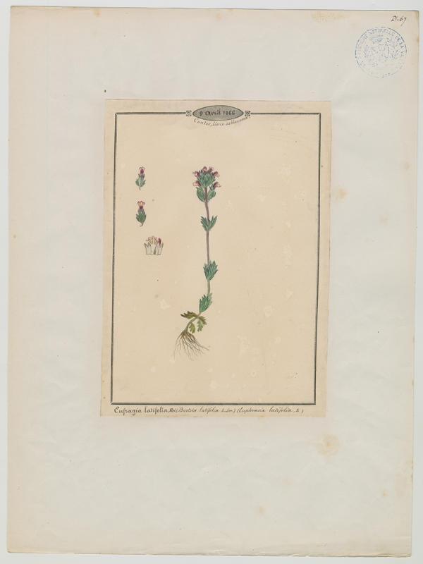 BARLA Jean-Baptiste (attribué à) : Eufragie à larges feuilles, plante à fleurs