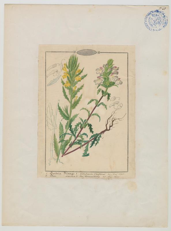 BARLA Jean-Baptiste (attribué à) : Eufragie visqueuse, plante à fleurs