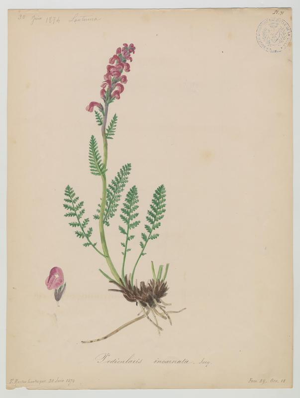 Pédiculaire à bec en épi ; plante à fleurs_0