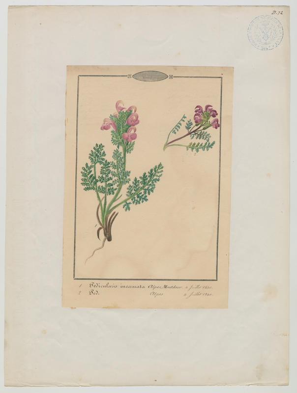 BARLA Jean-Baptiste (attribué à) : Pédiculaire à bec en épi, plante à fleurs