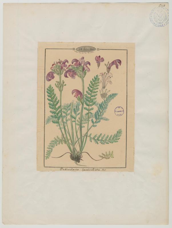 BARLA Jean-Baptiste (attribué à) : Pédiculaire arquée, plante à fleurs