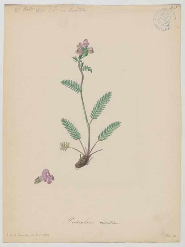 Pédiculaire verticillée ; plante à fleurs_0