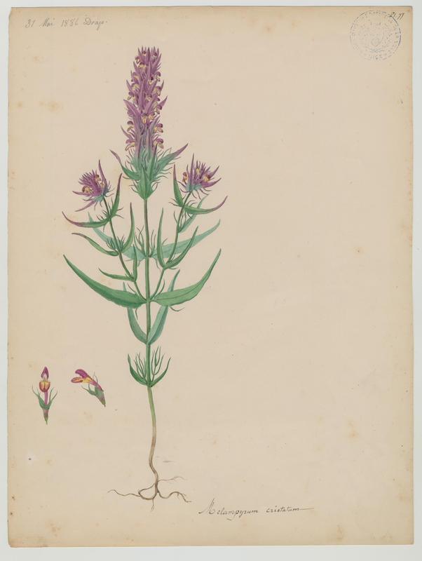 BARLA Jean-Baptiste (attribué à) : Mélampyre à crêtes, plante à fleurs